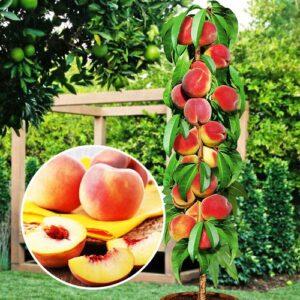 Персик Медовый колоновидный