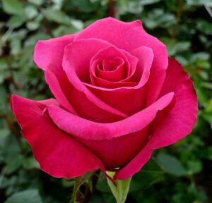 Роза чайно-гибридная Голден Леди