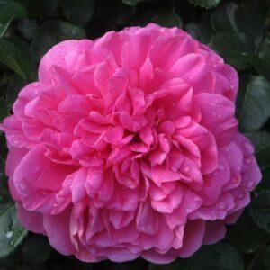 Роза Принцесса Анна
