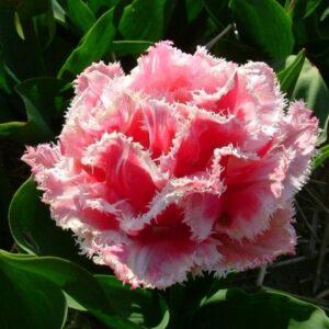 Тюльпан бахромчатый Квинсленд (QUEENSLAND)
