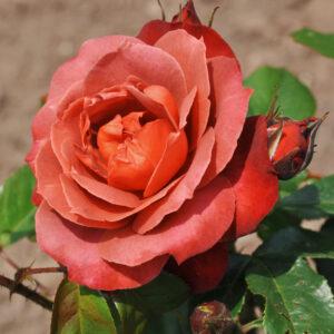 Роза чайно-гибридная Хот Кокоа
