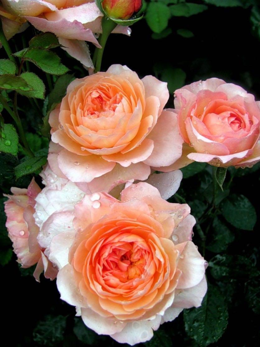 Роза Андре Тюрка (2)