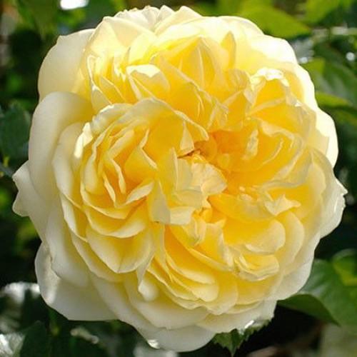 Роза Надя Мейдиланд (2)