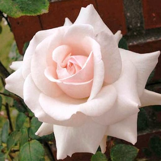 Роза Эмили Грей