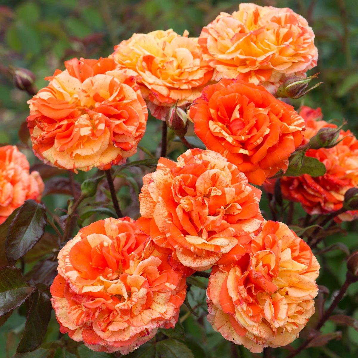 Роза Оранжес энд Лемонс (2)
