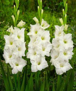 Гладиолус Белая Невеста