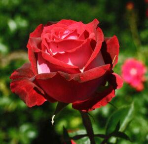 Роза чайно-гибридная Николь