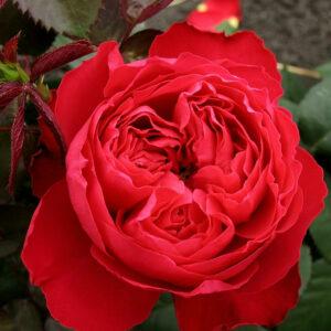 Роза Тиамо