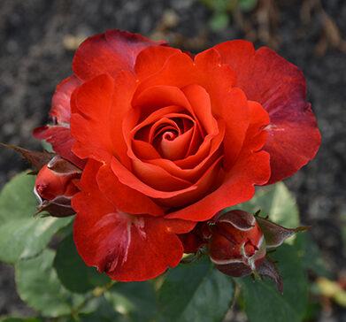 Роза чайно-гибридная Кофе Брейк (2)