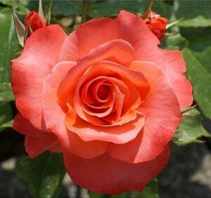 Роза чайно-гибридная Муви Стар