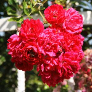 Роза Эксцельза