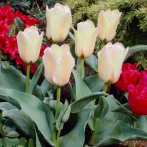 Тюльпан ботанический Альбион Стар