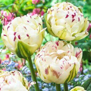 Тюльпан махровый Дэнс Лайн