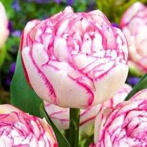 Тюльпан махровый Дабл Тач