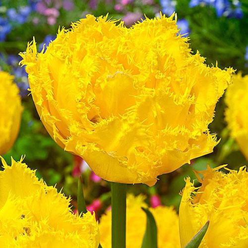 Тюльпан бахромчатый Экзотик Сан