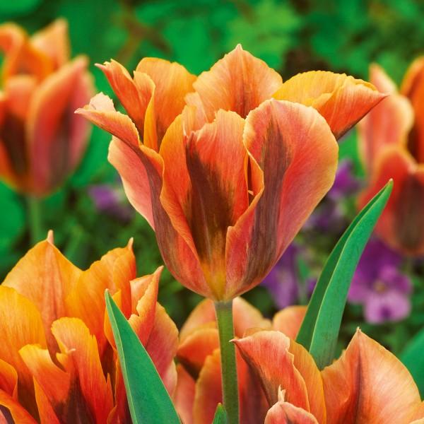 Тюльпан зеленоцветный Артист