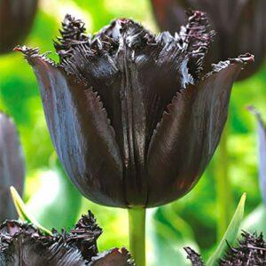 Тюльпан бахромчатый Блэк