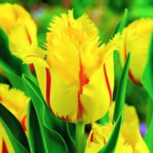 Тюльпан бахромчатый Фламенко