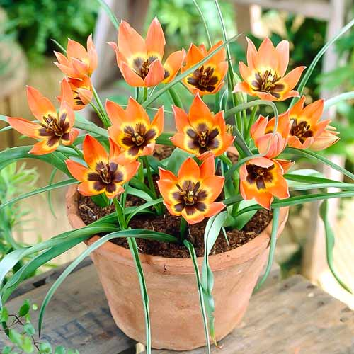 Тюльпан ботанический Литтл Принцесс