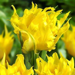 Тюльпан лилиецветный Монте Спайдер