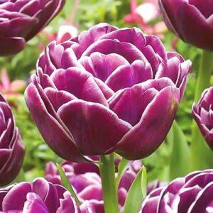 Тюльпан махровый Дрим Тач