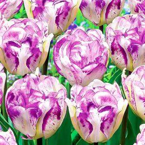 Тюльпан махровый Нормандия