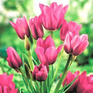Тюльпан многоцветковый Пурпл Букет