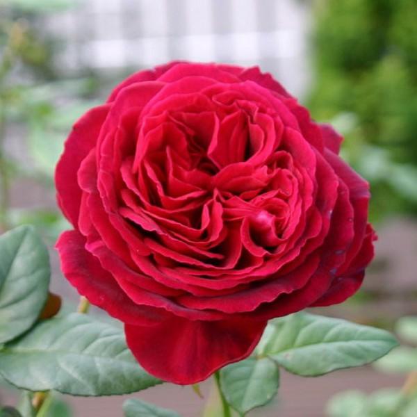 Роза чайно-гибридная Госпел
