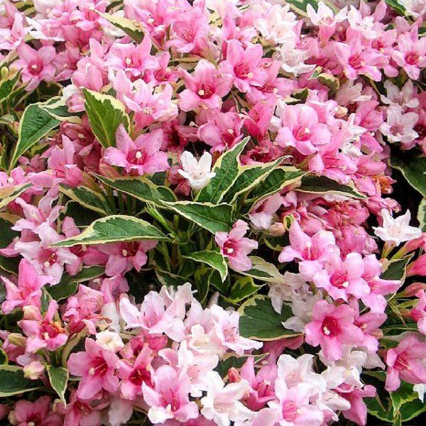 Вейгела цветущая «Румба»