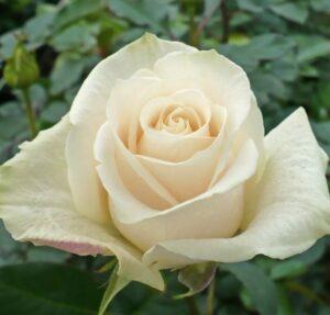 Роза чайно-гибридная Венделла