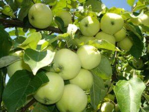Яблоня Белый налив (-45°C)