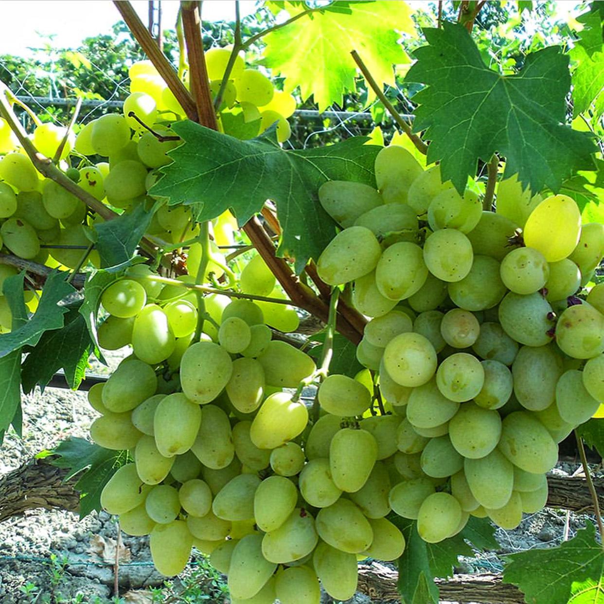 Виноград Бажена (2)
