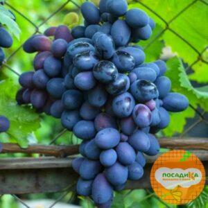 Ароматный и сладкий виноград «Августа»