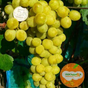 Виноград Амурский Белый (Высокоурожайный, ранний сорт)
