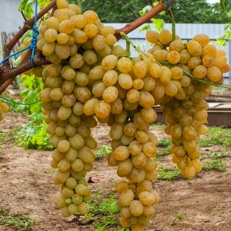 Виноград Амурский Белый (Высокоурожайный, ранний сорт) (3)