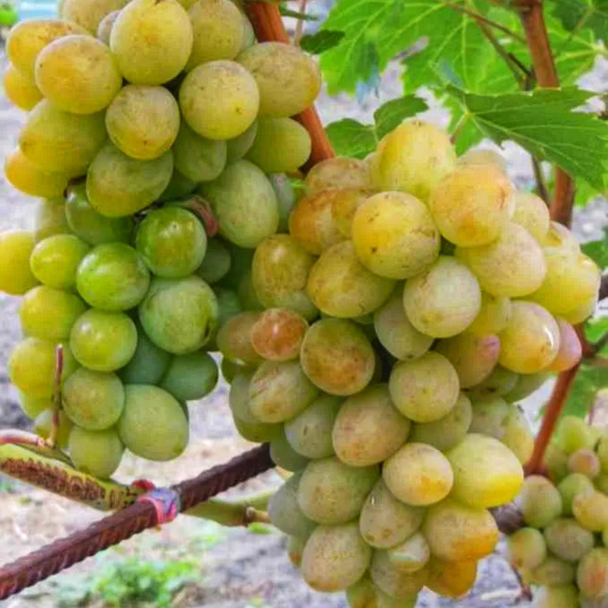 Виноград Амурский Белый (Высокоурожайный, ранний сорт) (2)