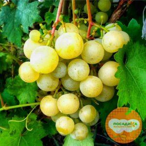 Виноград Кеша белый (Восторг улучшенный)