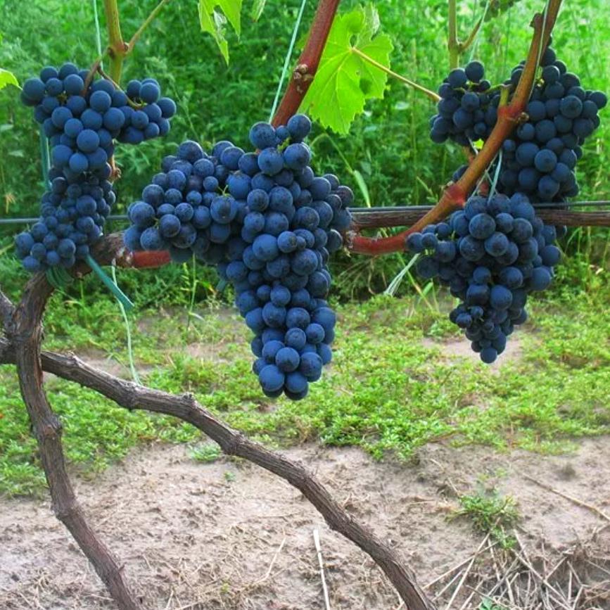 Виноград Черный жемчуг (2)