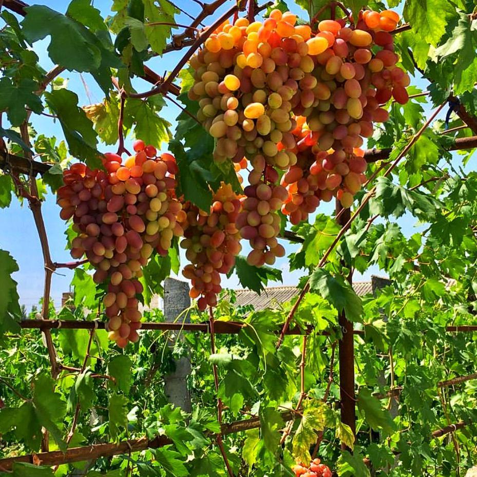 Виноград Ливия (2)