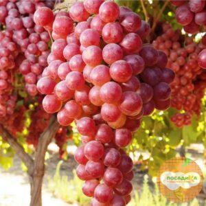 Виноград Виктория винная
