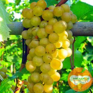 Виноград Платовский