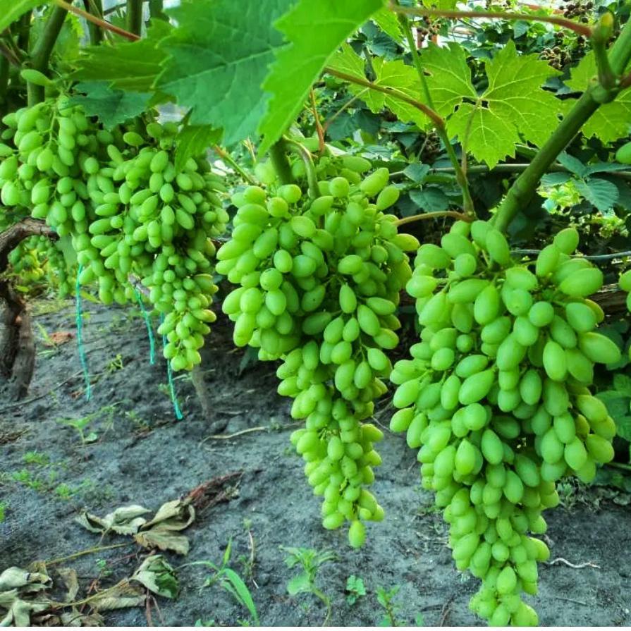 Виноград Столетие (2)