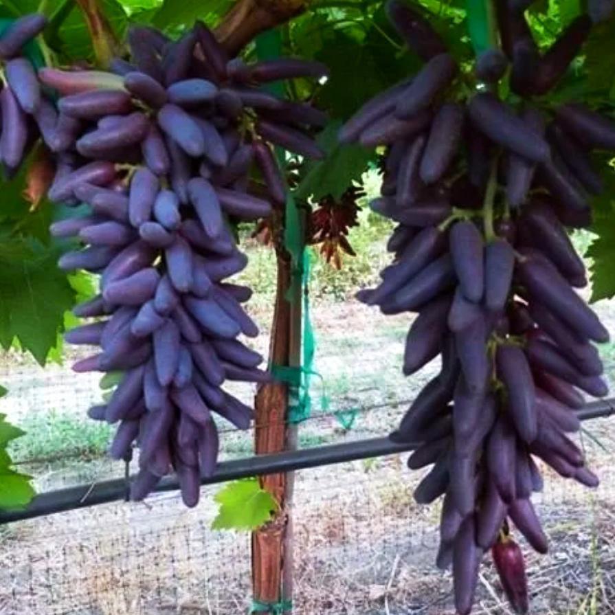 Виноград Чёрный палец (2)