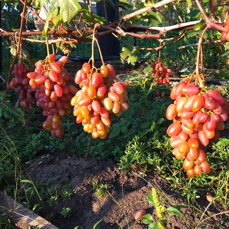Виноград Преображение (2)
