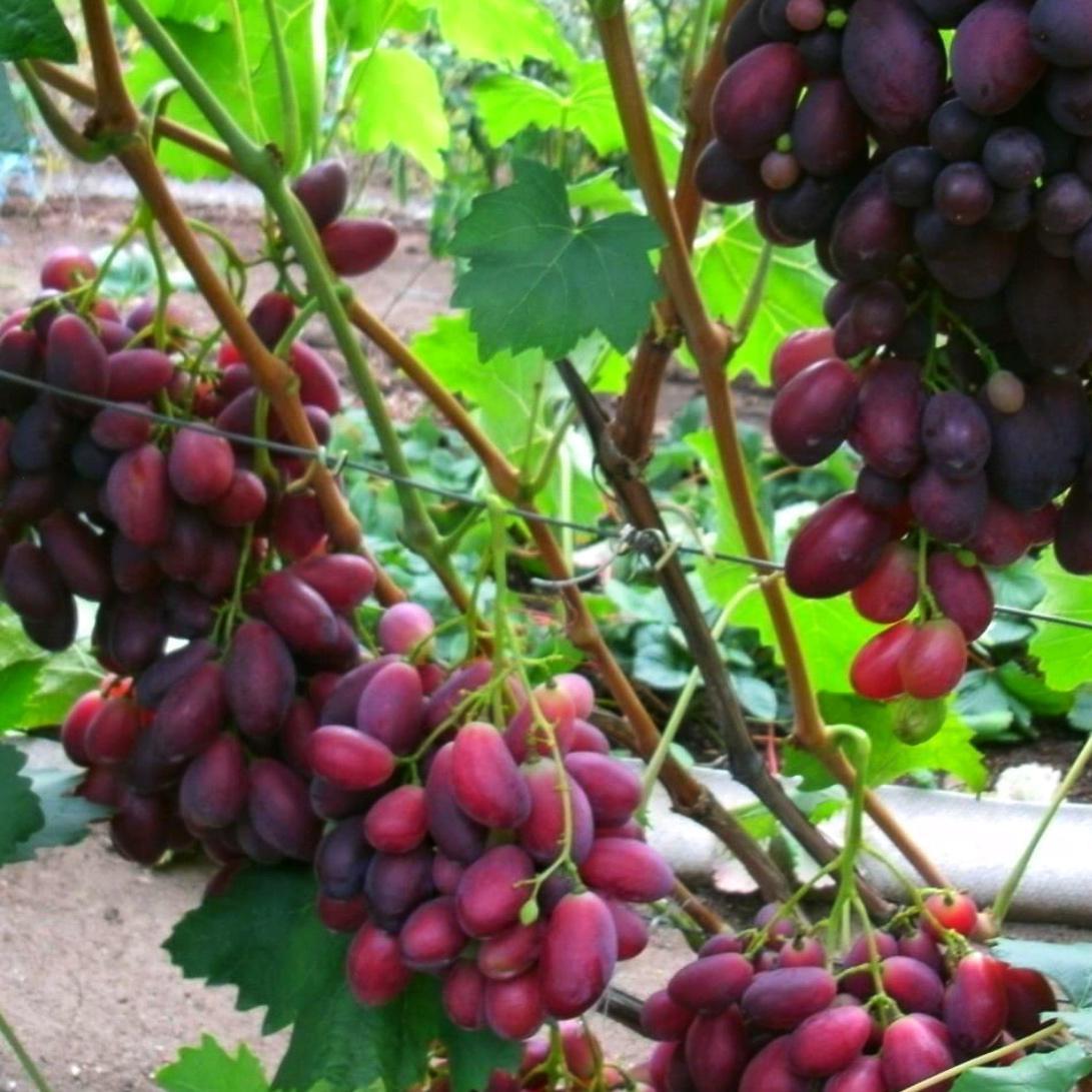 Виноград Ася (2)