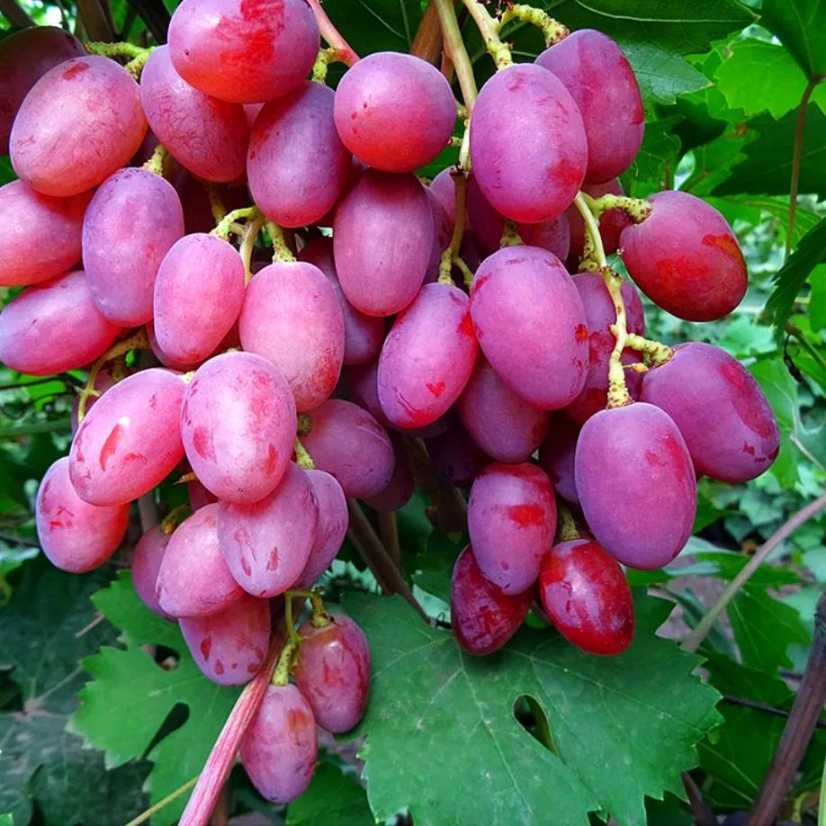 Виноград Рута (2)
