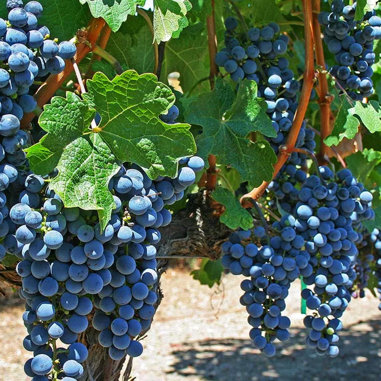 Виноград Триумф (ранний сорт) (2)