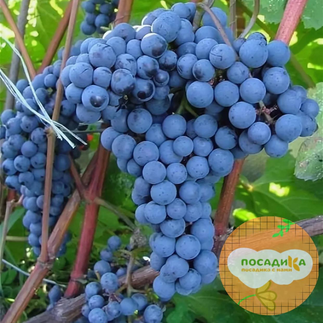 Виноград Триумф (ранний сорт)