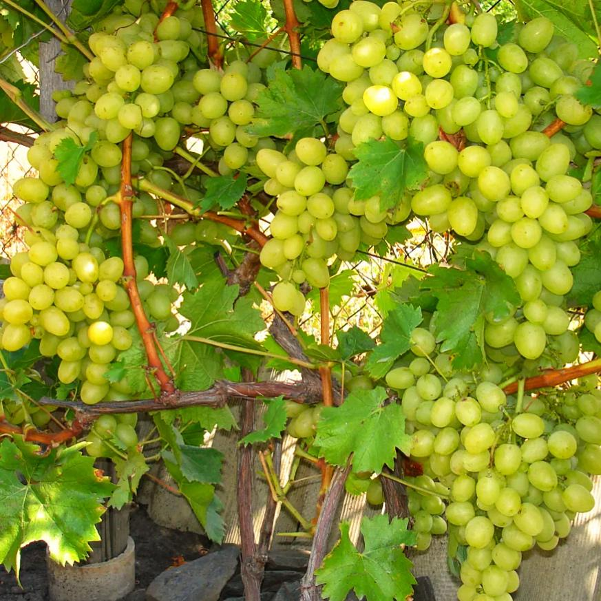 Виноград Ланселот (2)