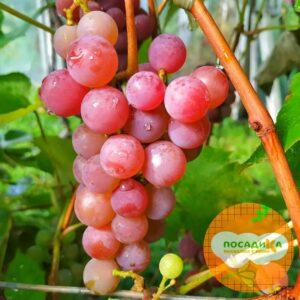 Виноград Лидия (Розовая Изабелла)